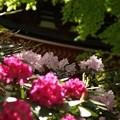 写真: 三重塔:石楠花14