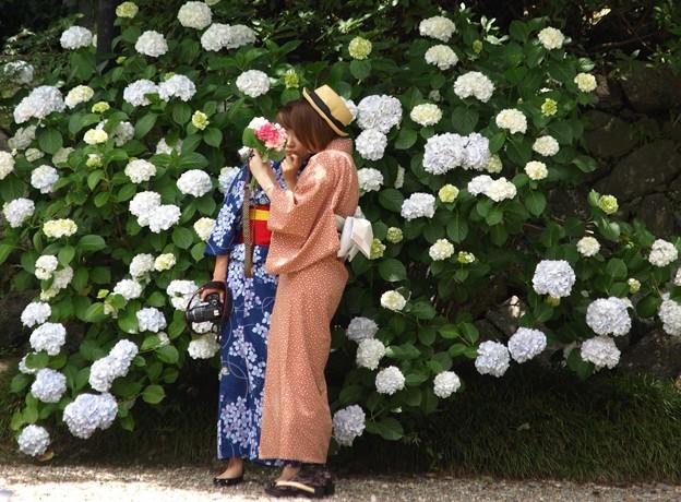 写真: カメラ女子:矢田寺紫陽花31