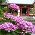 写真: 矢田寺紫陽花02