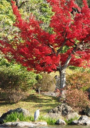 紅葉を愛でる鷺:晩秋万博公園19