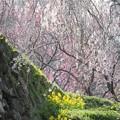 Photos: 戦国の夢の跡:又兵衛桜07