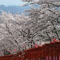 Photos: 鳥居と桜:丸高稲荷神社桜01