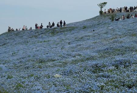 青の丘:ネモフィラ06