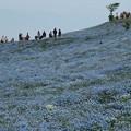 Photos: 青の丘:ネモフィラ06