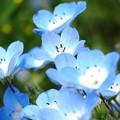 Photos: 青い煌めき:ネモフィラ12