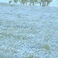 Photos: 溶け合うブルー:ネモフィラ07