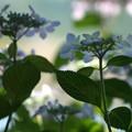 仲良く咲く:紫陽花