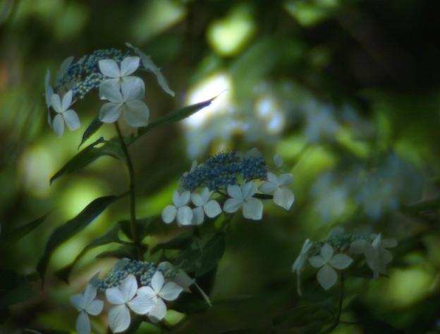 木洩れ陽に咲く:紫陽花06