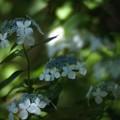 Photos: 木洩れ陽に咲く:紫陽花06