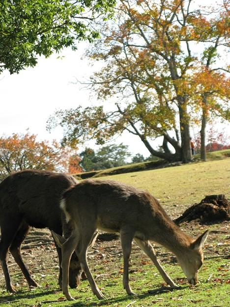 Photos: 神の使い:奈良公園01