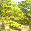 写真: 欅の大樹~六代御前