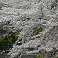 写真: 桜満開~横浜岸根公園