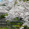 写真: 岸根公園~桜満開