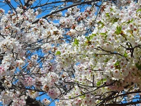 ソメイヨシノと山桜~西明石