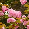 写真: 横浜公園~八重桜