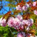 八重桜~滋賀県草津市