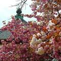 写真: 興福寺~八重桜