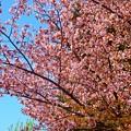 写真: 岩手山SA~桜