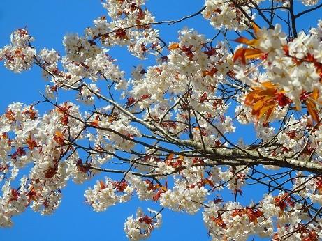 桜~花輪SA