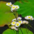 写真: 紫苑~不忍池