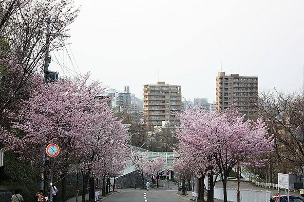 藻岩山の桜(2009-05)