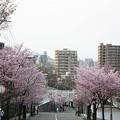 Photos: 藻岩山の桜(2009-05)