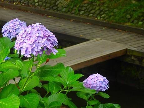 宿河原~紫陽花
