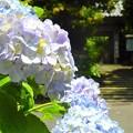 近所の紫陽花 逗子