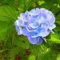 紫陽花~芦ノ湖畔