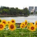 写真: 向日葵~福岡大濠公園