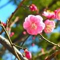 写真: 紅梅~横浜公園