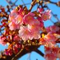 写真: 河津桜~鎌倉光明寺