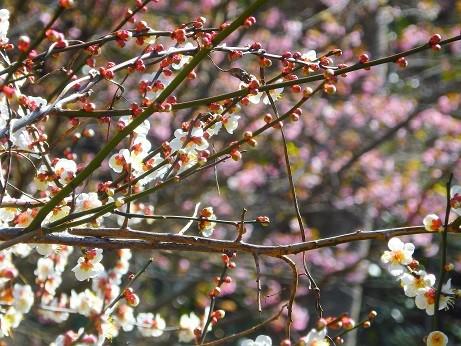 写真: 白梅と河津桜~逗子