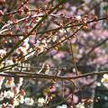 白梅と河津桜~逗子