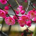写真: 紅梅~北鎌倉