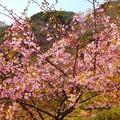 写真: 満開の河津桜~逗子