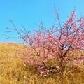 写真: 河津桜~静岡市清水区