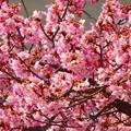 写真: 清水の河津桜