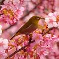 写真: 河津桜とメジロ~新宿