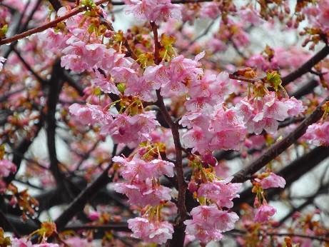 雨の河津桜~入間市
