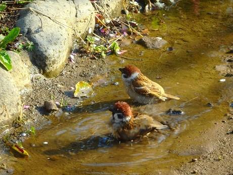 雀の水浴び~芝公園