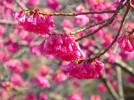 寒緋桜~逗子市