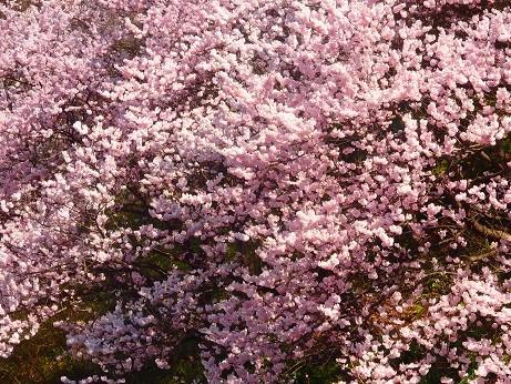 写真: 彼岸桜~横浜市星川