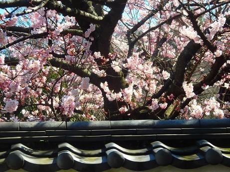 法性寺の彼岸桜