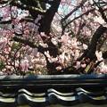 写真: 法性寺の彼岸桜