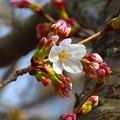 写真: 開花~鎌倉光明寺