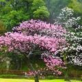 写真: 梅~徳川庭園