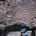写真: 桜~逗子市桜山