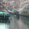 写真: 桜~横浜大岡川