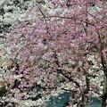 写真: 桜&枝垂れ桜~高輪プリンス